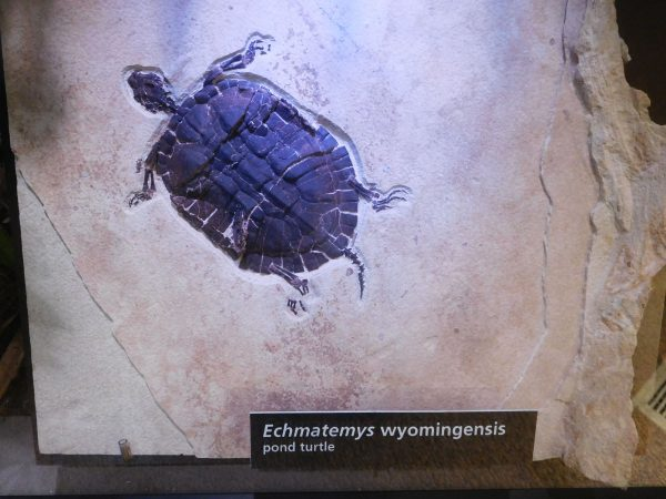 Fossilized turtle in the visitor center