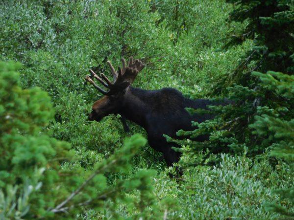 A bull moose I saw feeding in Grand Teton National Park